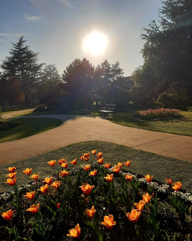 orange tulips in a sunny park